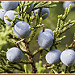 Juniper berry Juniperus communis