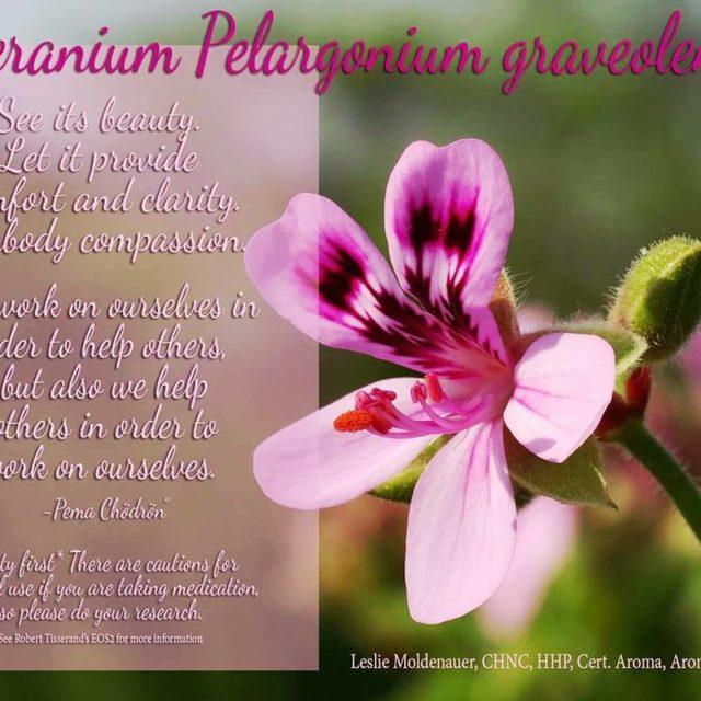Geranium Pelargonium graveolens a very versatile essential oil Balancing andhellip